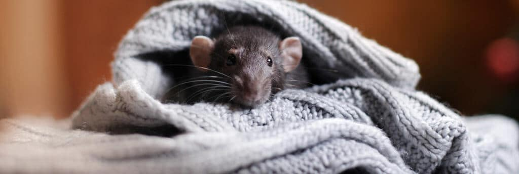 disease transmitted by mice