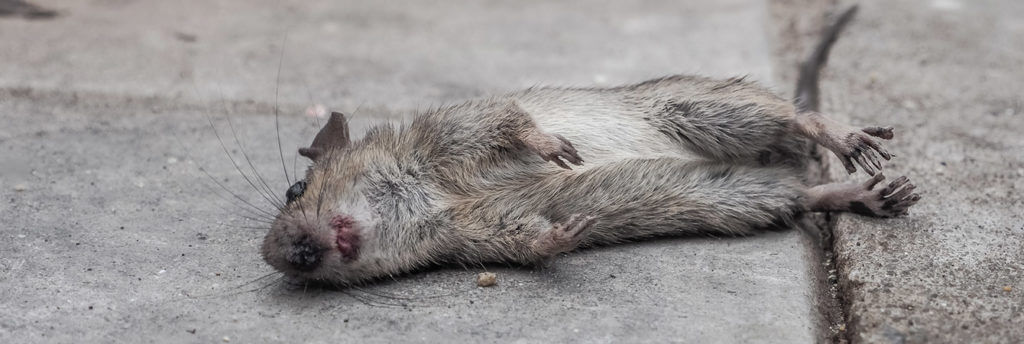 how to get rid of dead rodent smell