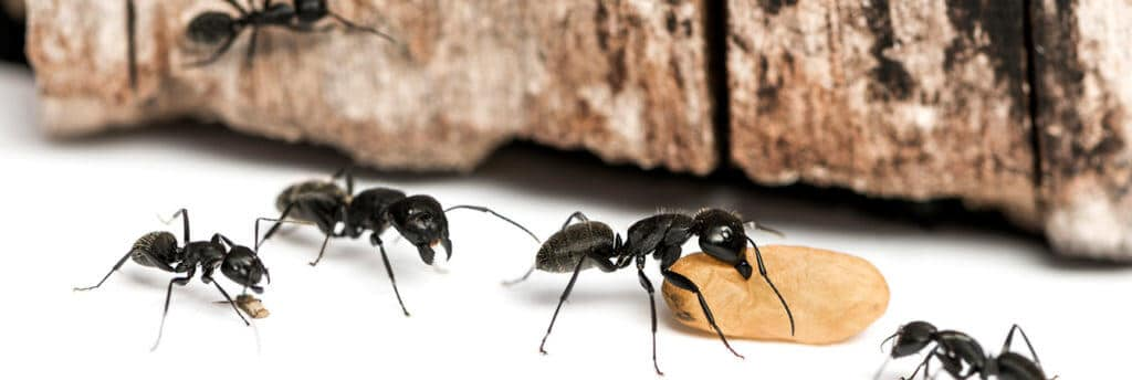 most common types of ant infestations toronto
