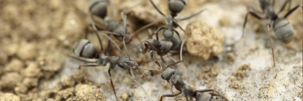 ants infestation signs