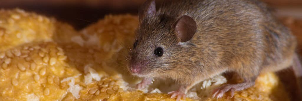 what to do if you have a mice infestation