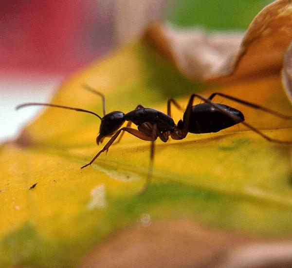 Ant Control Toronto Pesticon Pest Control