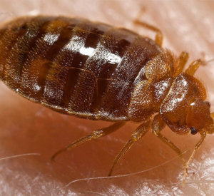 Bed Bug Detection and Extermination For Pest Control Toronto