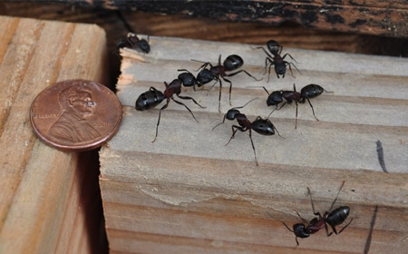 Carpenter Ant Removal