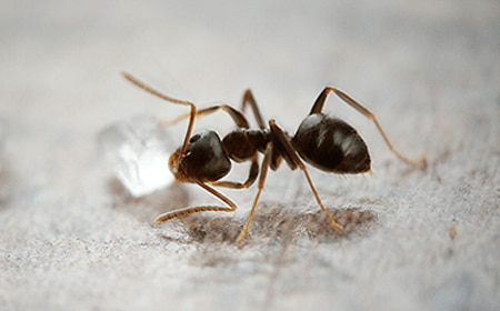 Odorous Ants Removal