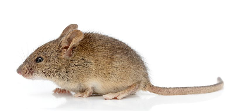 Health Risks Associated with Mice in Toronto