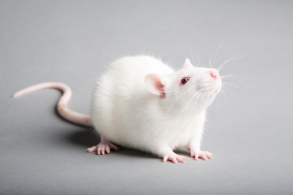 Mice Removal Toronto