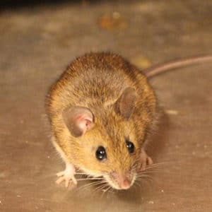 Pesticon Mice Control Toronto