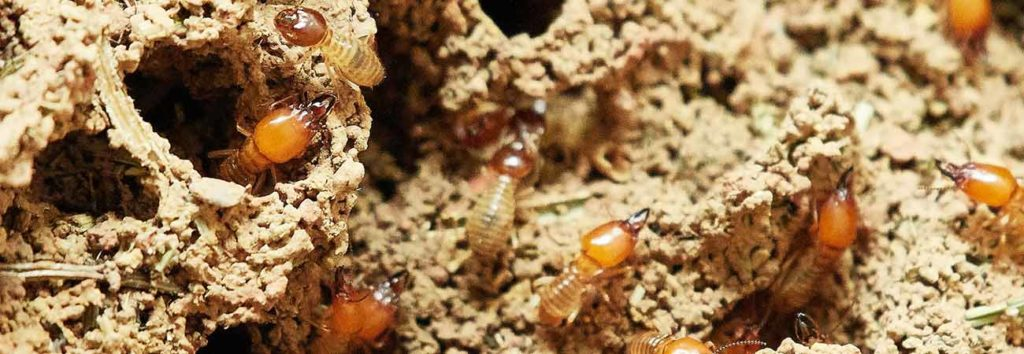 effective termite control methods to use in guelph
