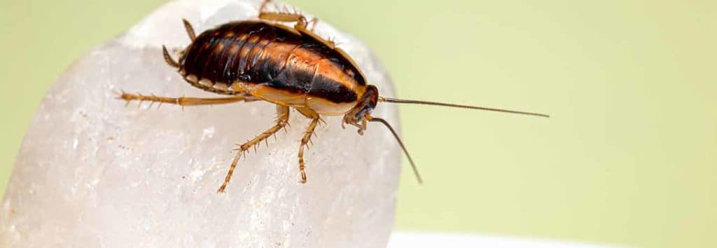 home remedies for roaches in guelph