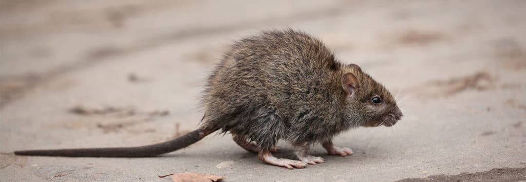 how to keep your home and family safe with mice control in guelph