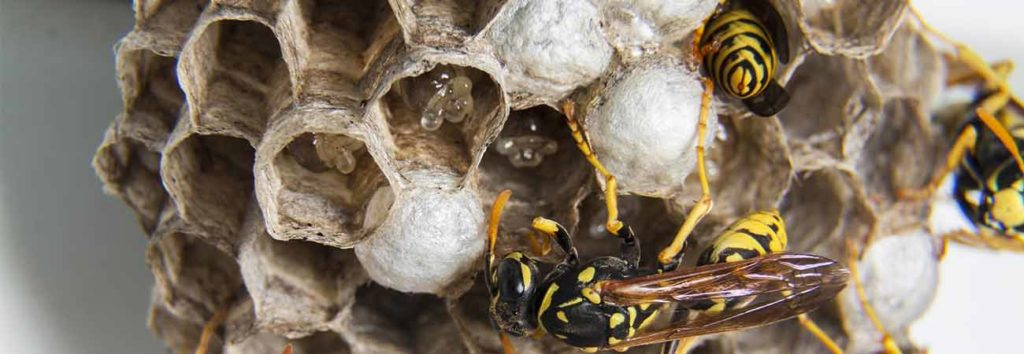 why do you need professional help for wasp nest removal in guelph