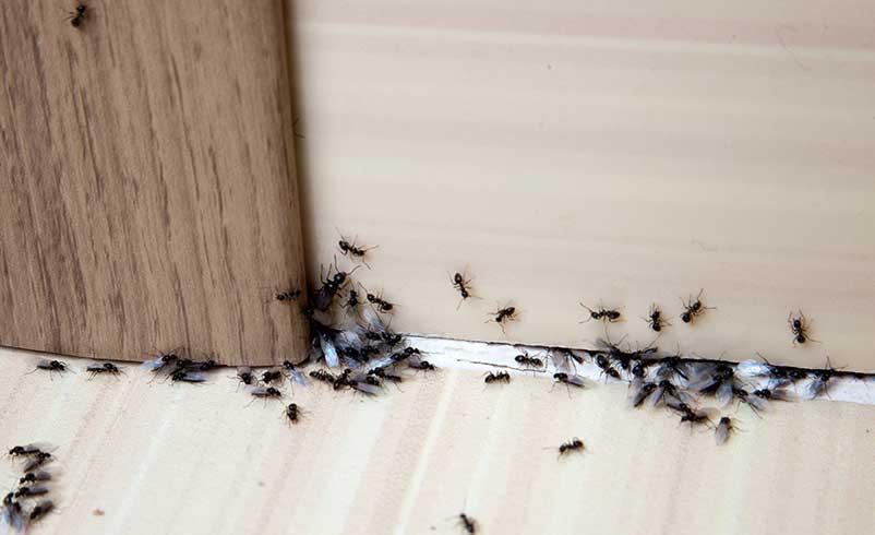 ant exterminator in Kitchener