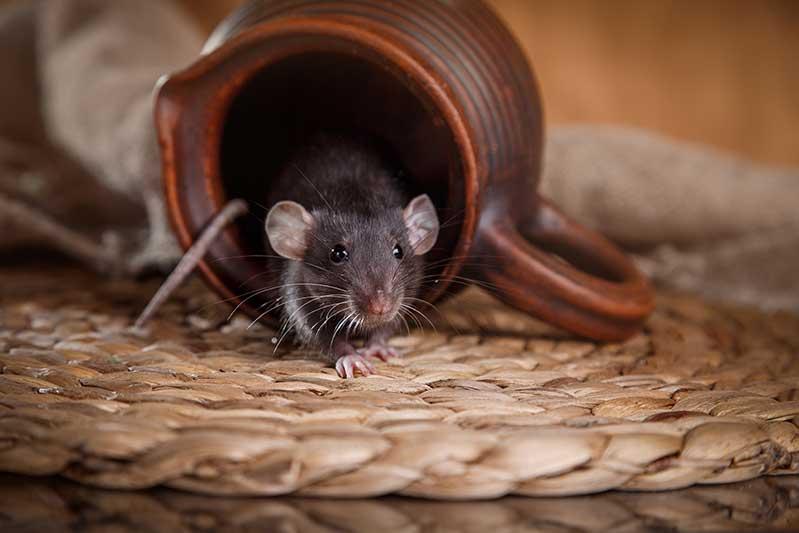 mice control kitchener