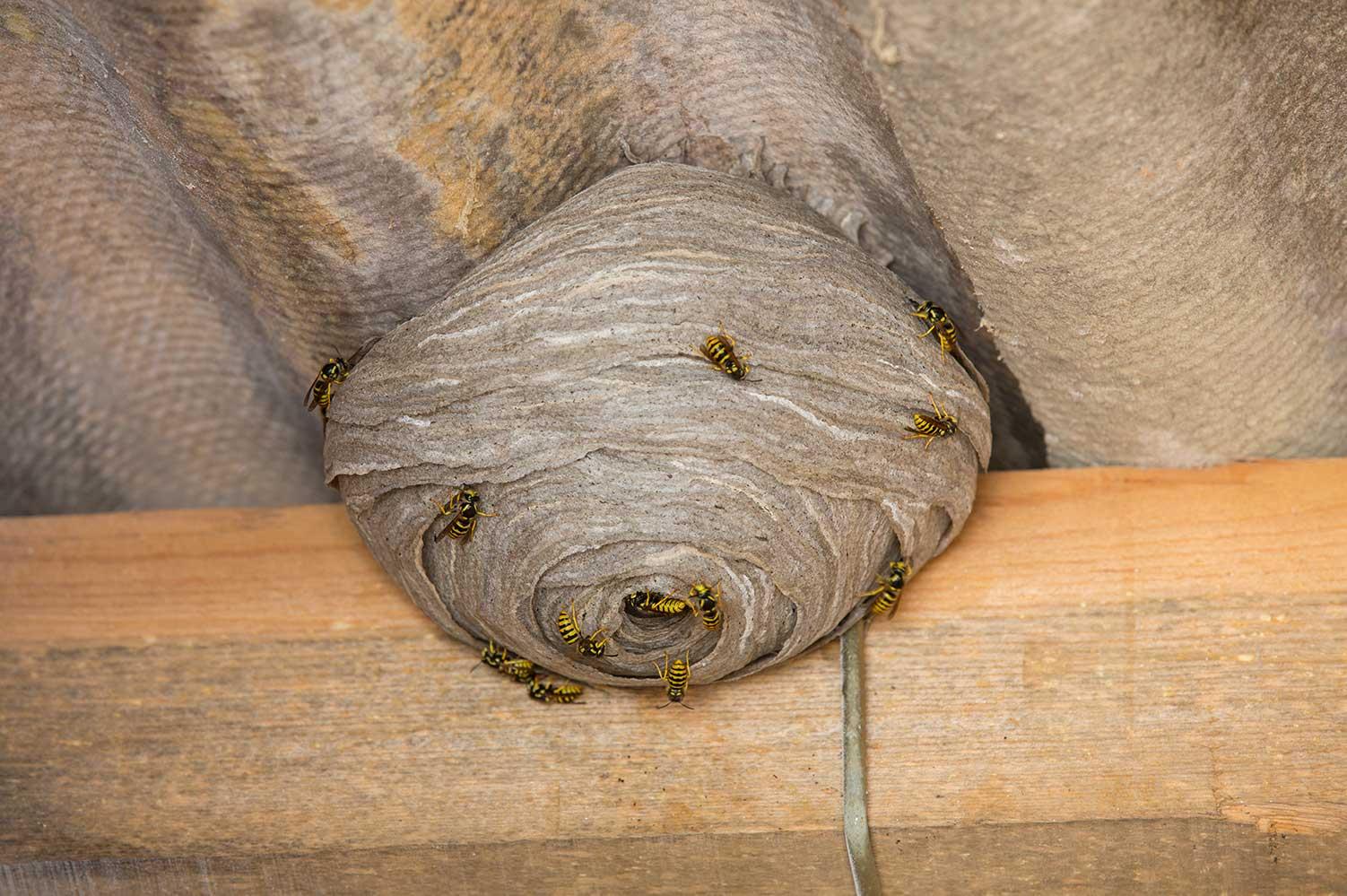 remove wasps nest in kitchener