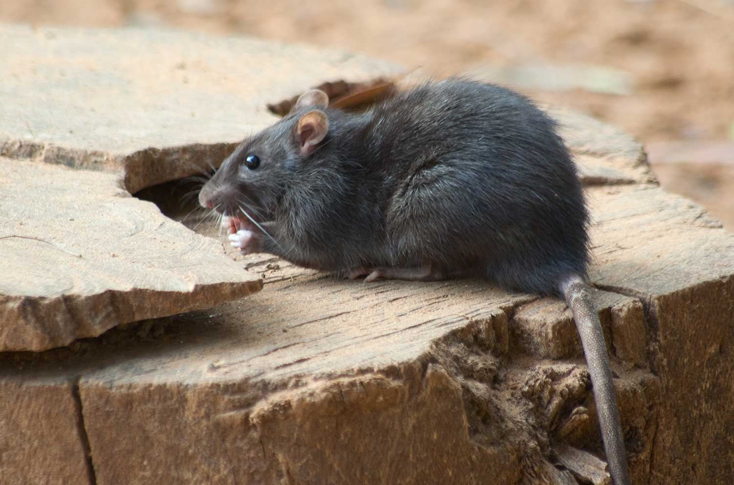 rodent removal kitchener