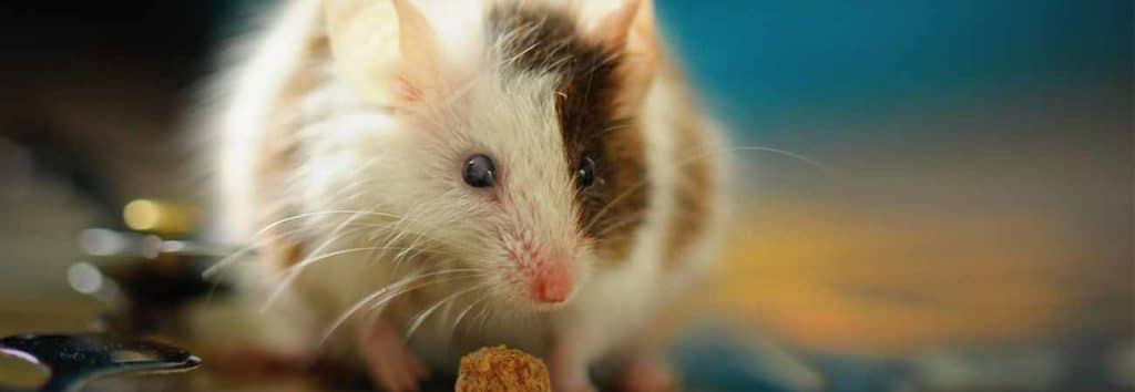common questions and answers about mice infestation in the house