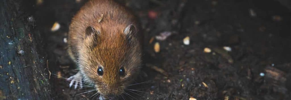 how to clean up after a mice infestation