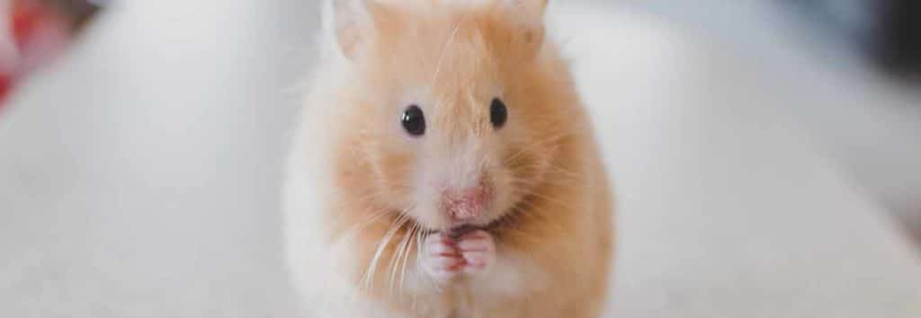 what diseases do mice and rats carry