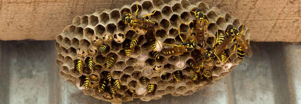 how to know you have a wasp problem in your home