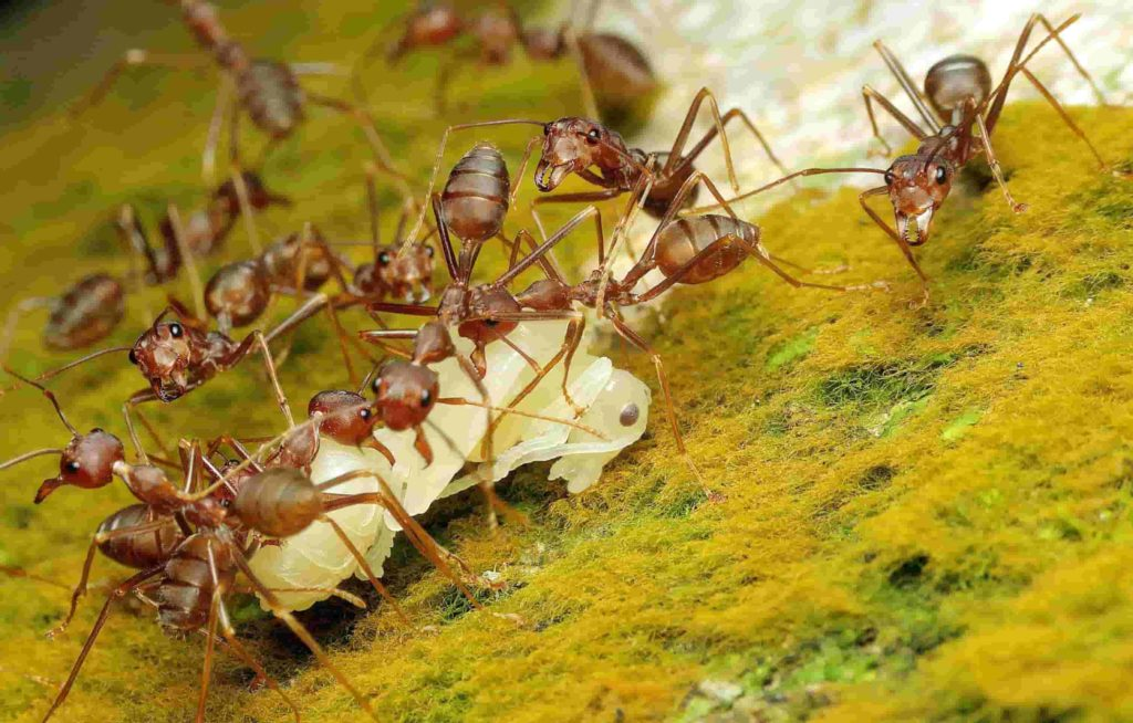 4 things you should know about eliminating pharaoh ants