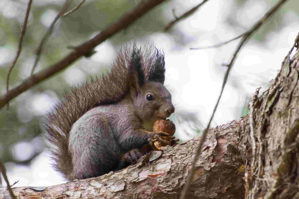 how to control squirrel damage