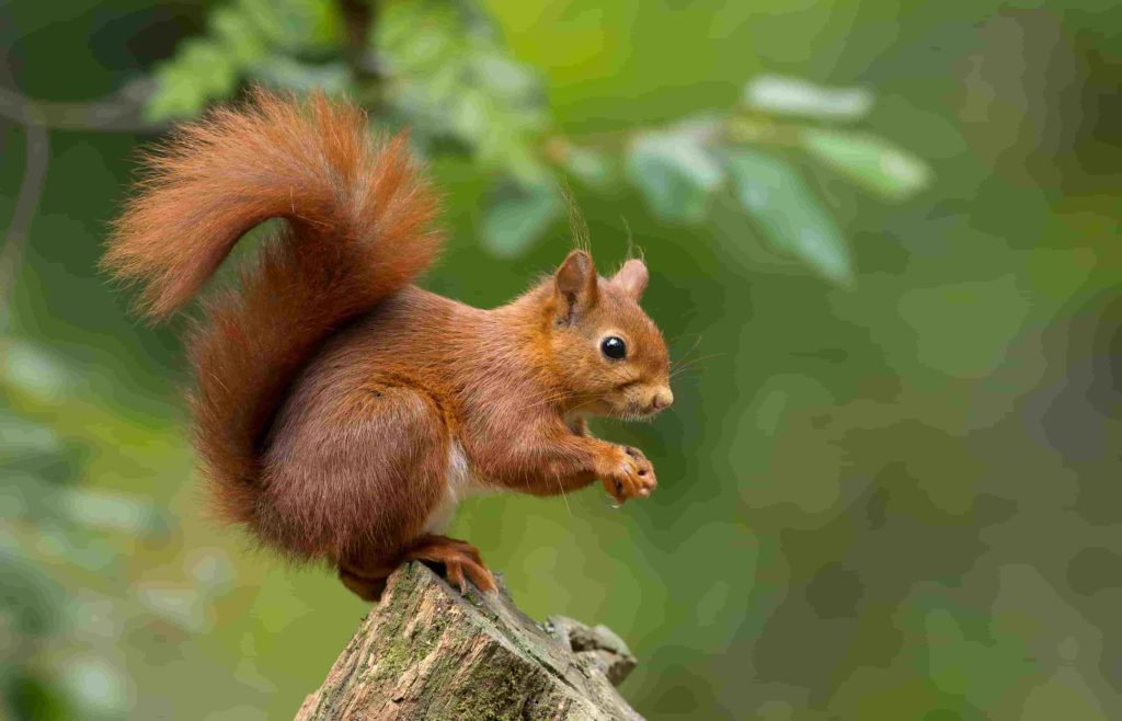 what sounds do squirrels make and what do they mean