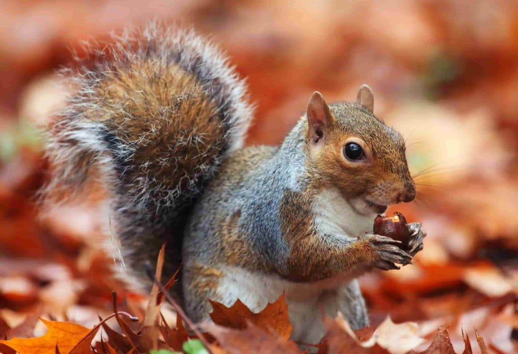 why does toronto have so many squirrels