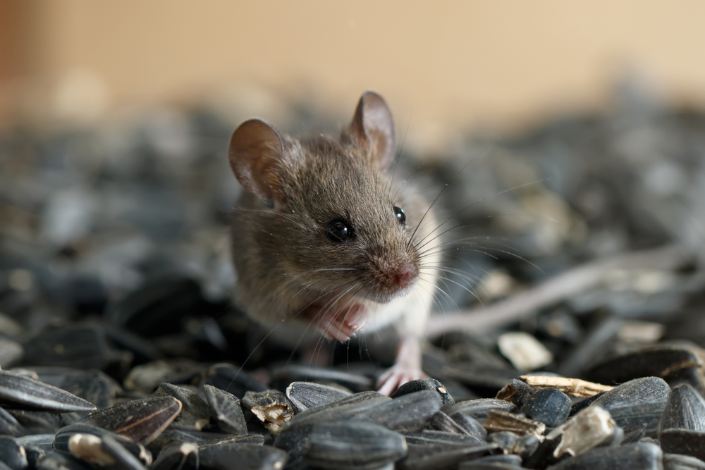 Secrets That Mice Don't Want You To Know
