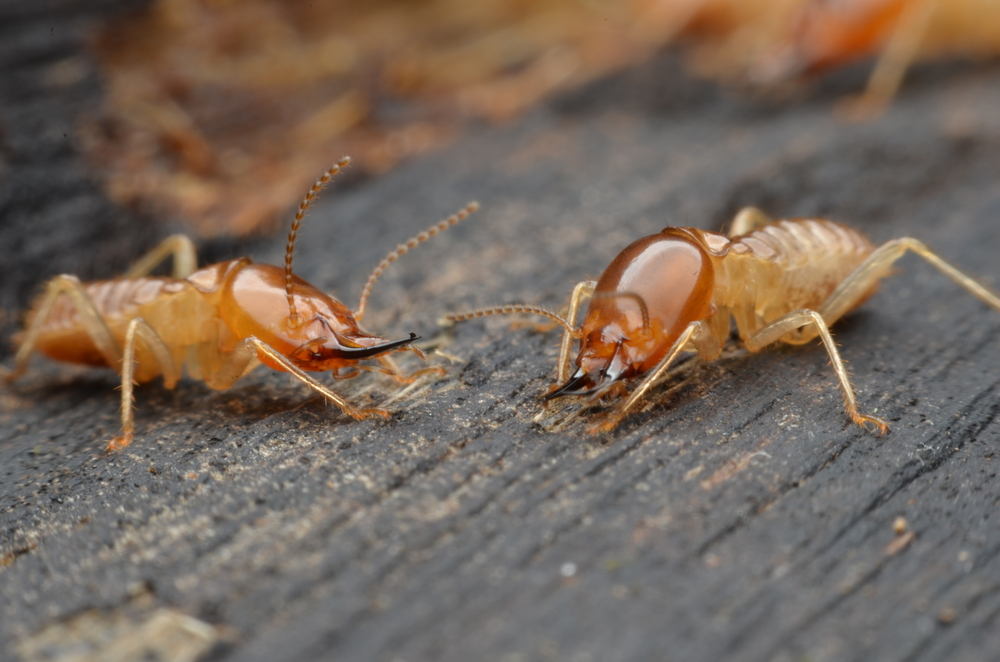 Tips for DIY Termite Control in Guelph