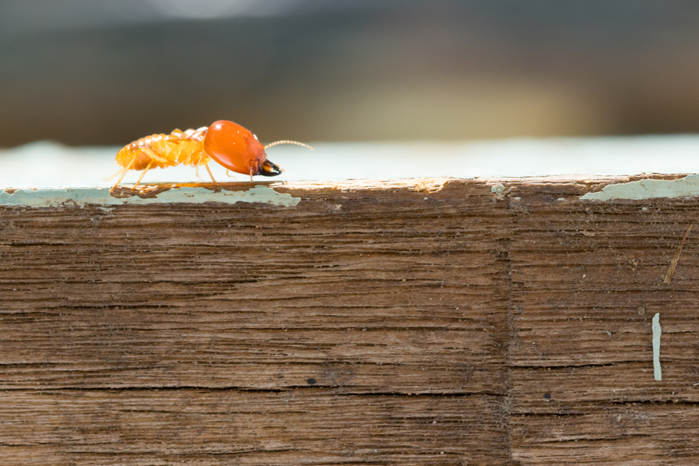 Why Go For a Termite Inspection Before Buying or Selling A House in Vaughan?