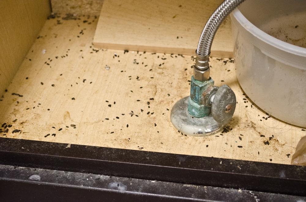 Pest Infestation in Vaughan