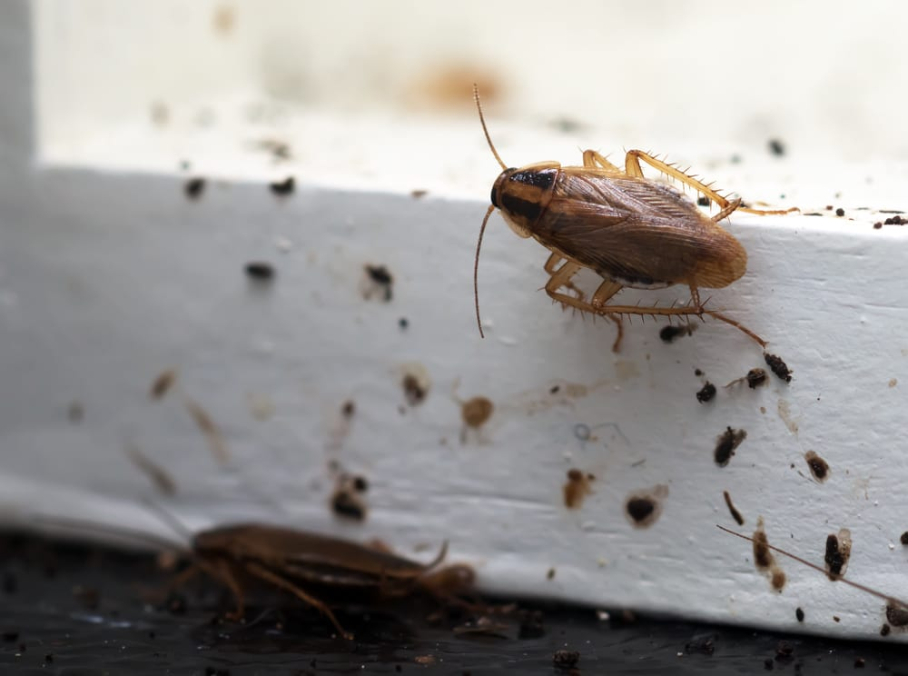Where Cockroaches Hide in Your Houses and Offices in Brampton