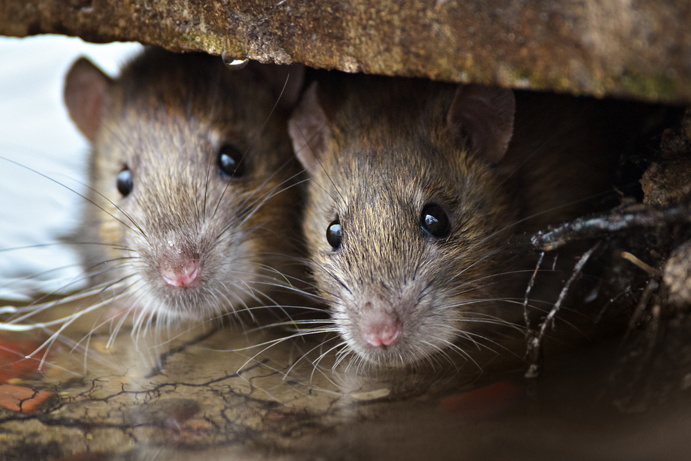 How Can Mice and Rats Cause Life-Threatening Situations At Your Home in Vaughan?