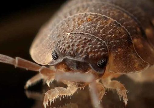 how should you inspect for bed bugs in kitchener