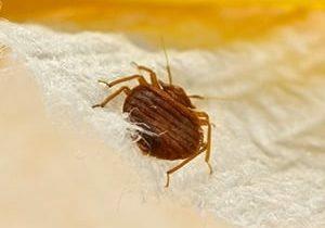 bedbug removal kitchener