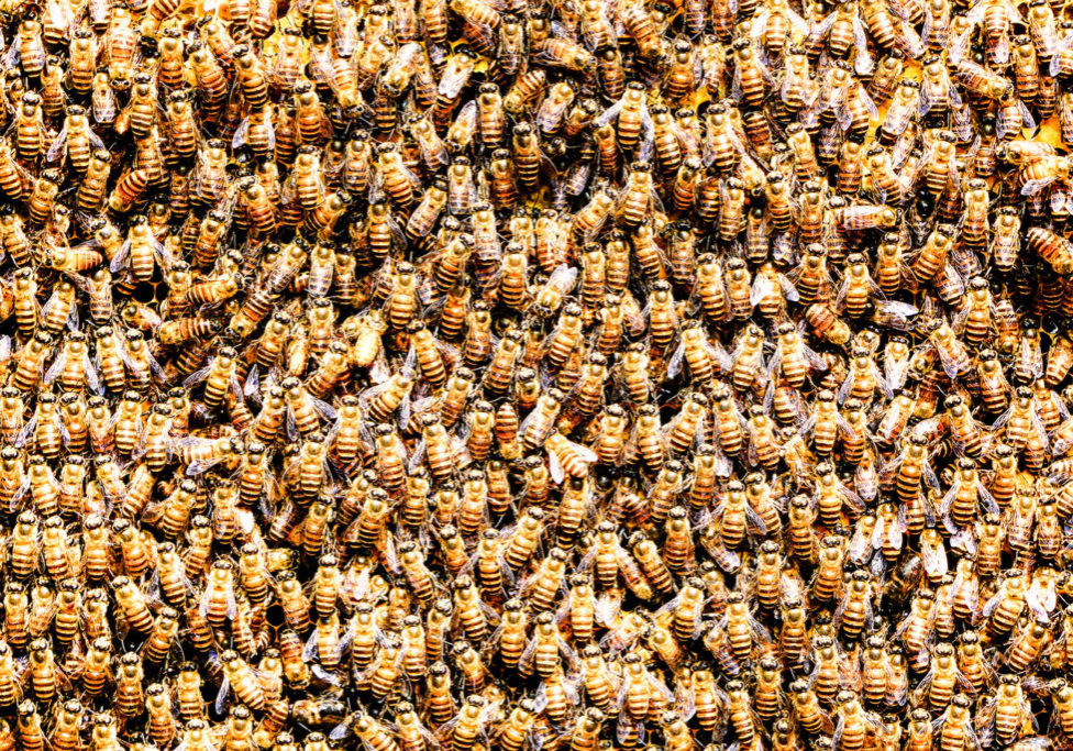 remove bees, bee removal