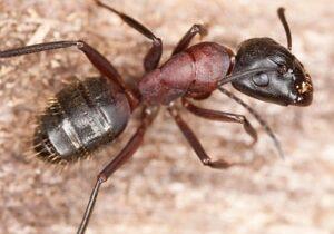 Carpenter Ants Cambridge