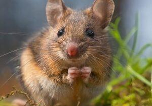 field mice control guelph