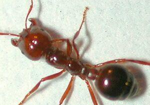Fire Ants Cambridge