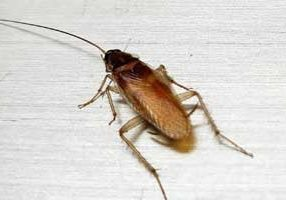 german cockroach removal guelph