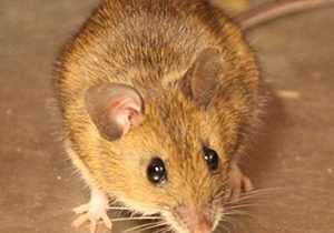 house mouse control guelph