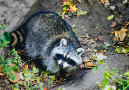 how to deal with racoon, outdoor wildlife