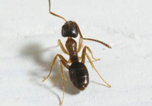 Odorous Ants Cambrdige