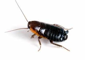 oriental cockroach removal guelph