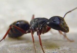 Pavement Ants Cambrdige