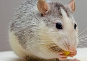 rodent control guelph