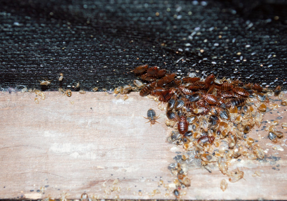 If You Have Bed bugs in Toronto