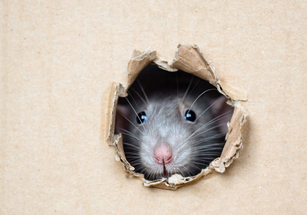 How To Keep Rodents Away From Your House in Brampton?