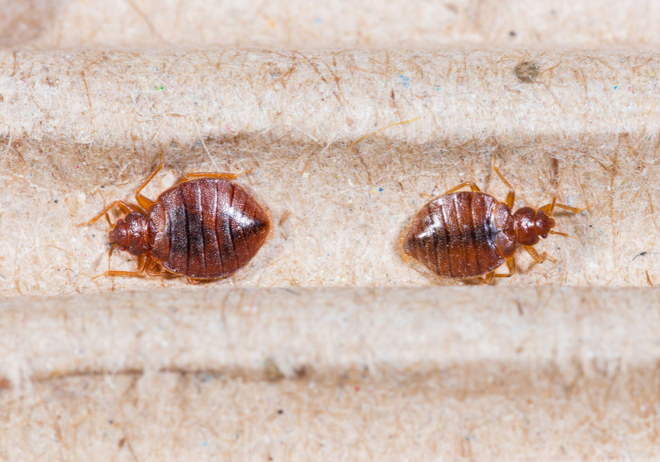 Bed Bug Habits To Identify and kill Them in Toronto